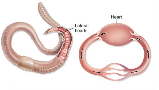 circulatory system function essay definition