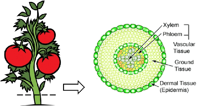 vascular tissue in plants Vascular plants have vascular tissues which distribute resources through the plant this feature allows vascular plants to evolve to a larger size than non-vascular.